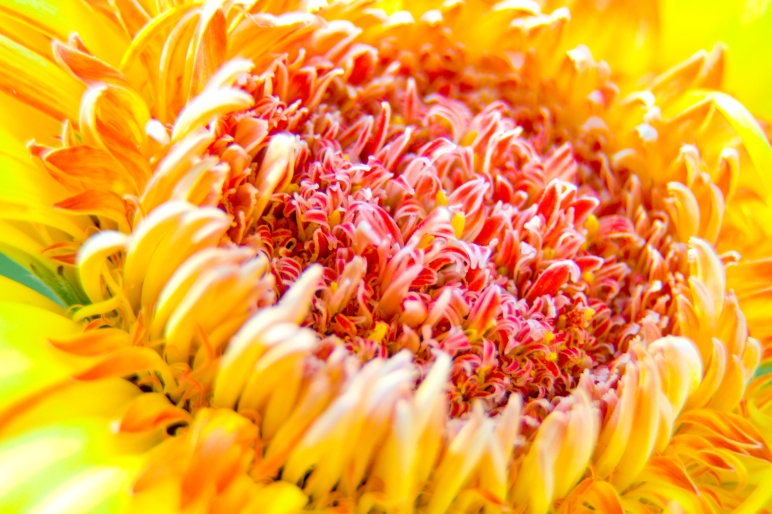 Just a quick macro using extension tubes of a gerbera daisy that's on its last legs.