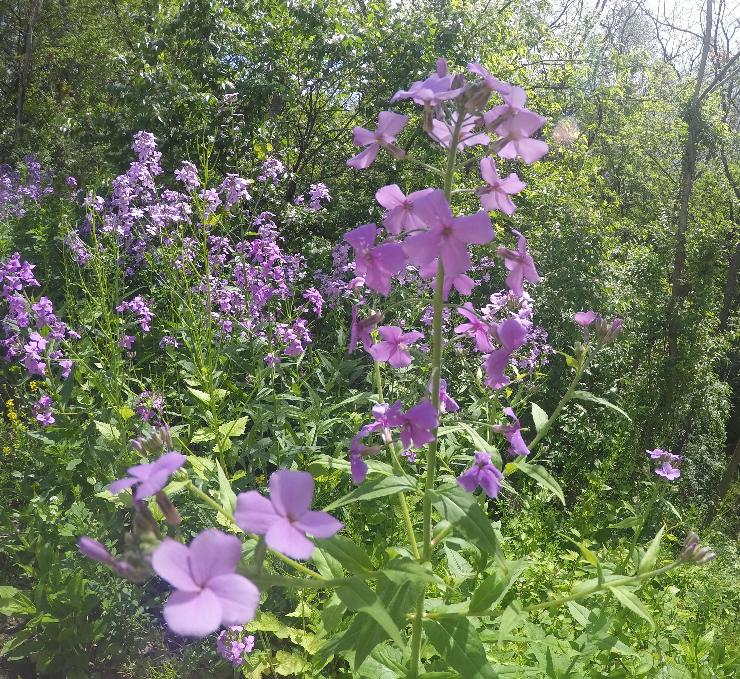 Purple Wildflowers along the Akron Rail Trail