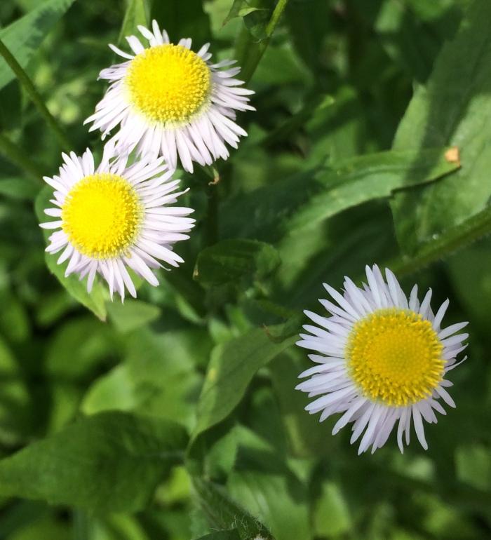 Little flower in Binn's Park, Lancaster, PA