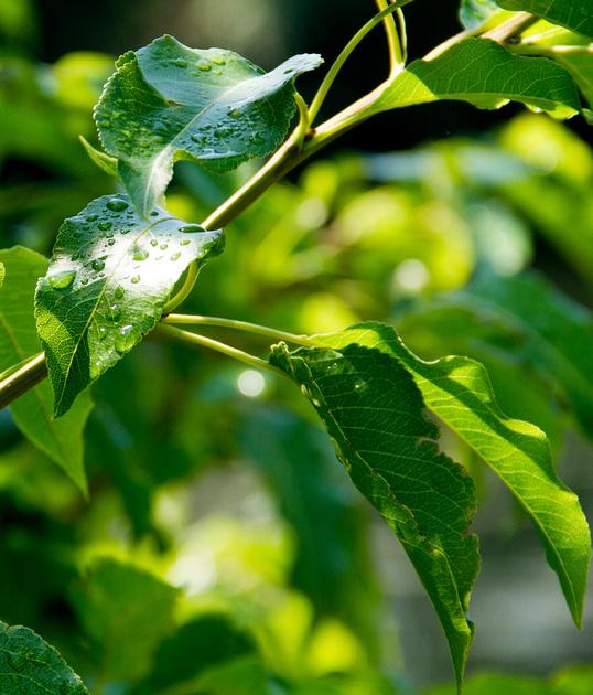 Dew on pear tree leaves