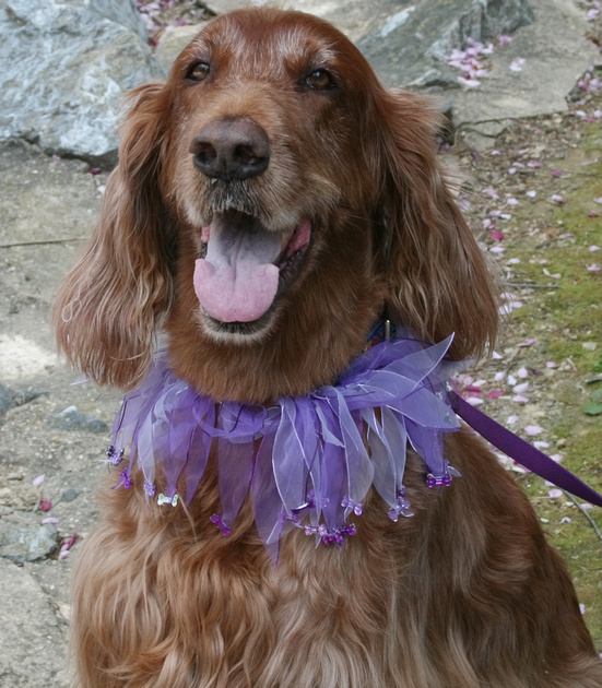 Happy old dog in a purple collar. Photo by Jenn Dixon.