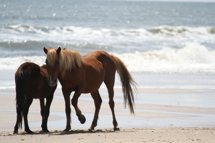 Wild Spanish Mustangs, OBX, NC, USA original file