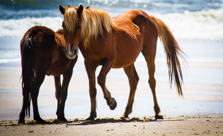 Wild Spanish Mustangs on the Outer Banks in North Carolina, USA