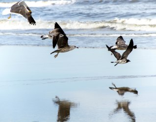 Sea gulls at the Outer Banks, North Carolina, USA