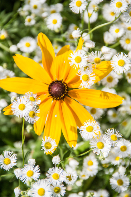 Yellow daisy amongst other smaller white daisies.