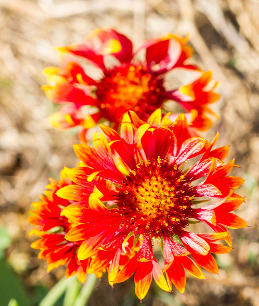 Red and yellow wildflowers