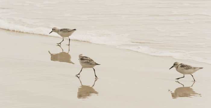Sandpipers. Outer Banks, North Carolina, USA.