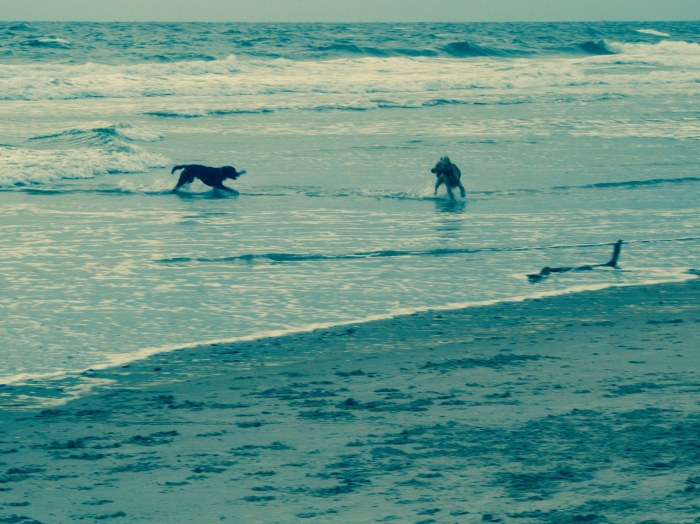 Dogs playing fetch in the Atlantic Ocean in the Outer Banks, North Carolina, USA.