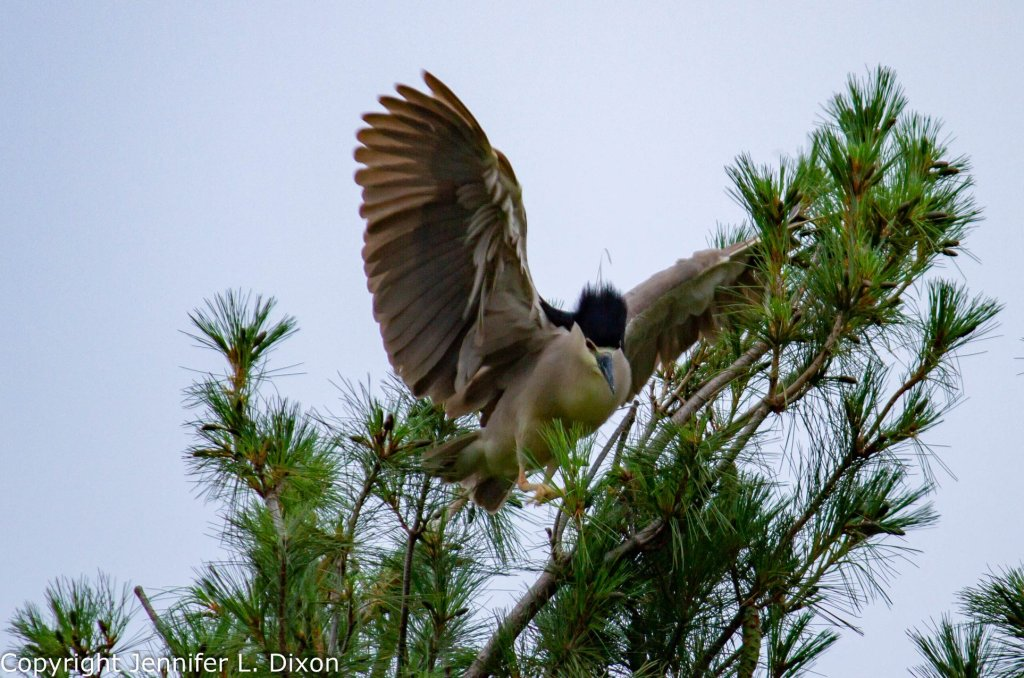 Black-Capped Night Heron in flight
